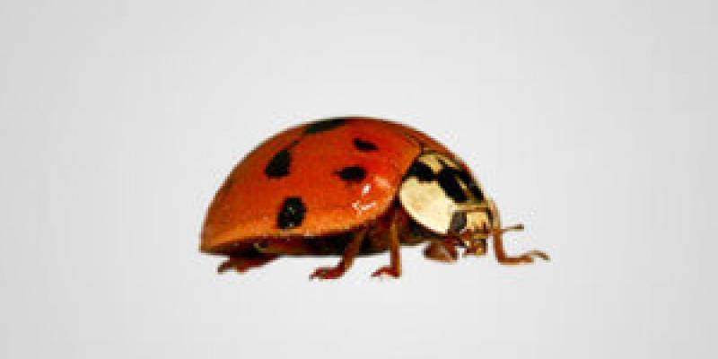 asian beetle on background
