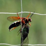 wasp on wire fence killing a cicada